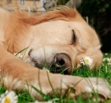 Reiki Therapy for Dogs